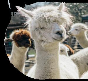 Llama_cutout2